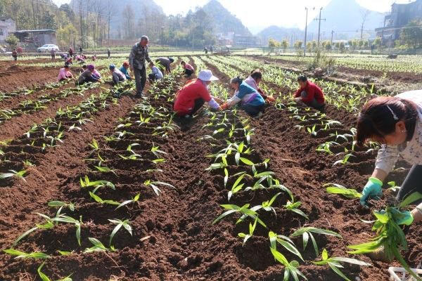 云南耘禾智慧农业发展有限公司白芨种苗易存活,手把手教种植技术