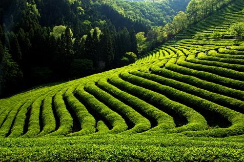 小悟山绿茶得益于得天独厚的生长环境