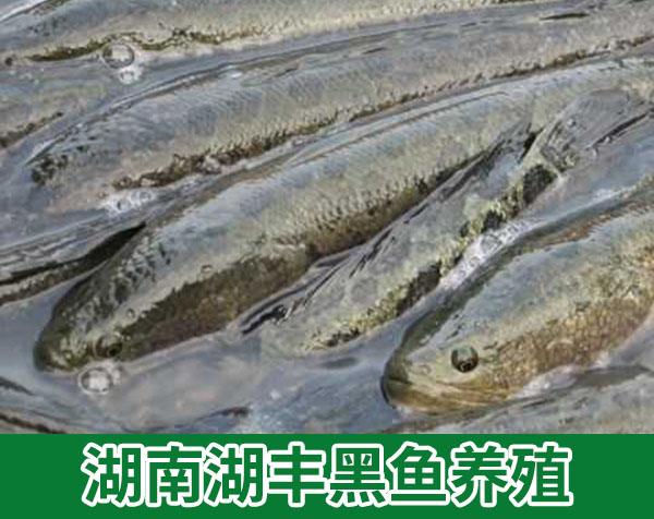 湖南湖丰黑鱼养殖,稻田养鱼有什么优势?操作方便吗