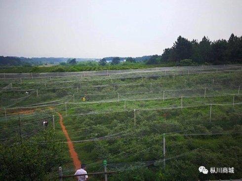安徽省蓝莓种植面积已超过5万亩 年产值约高达3亿元