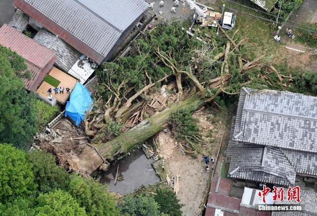 日本多处世界遗产被毁:千年神木连根倒地