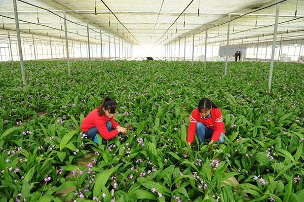 云南滇信堂白芨种植:实力赢得信赖,造福亿万农家