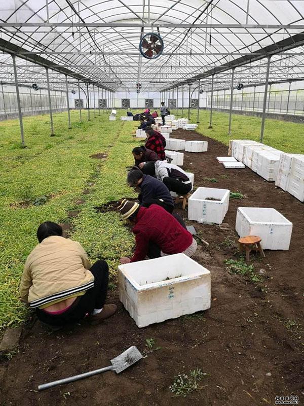 农业新改革,中草药种植,云南滇信堂白芨种植稳定高产