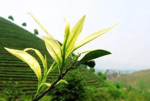 小悟山茶叶源远流长,生生不息