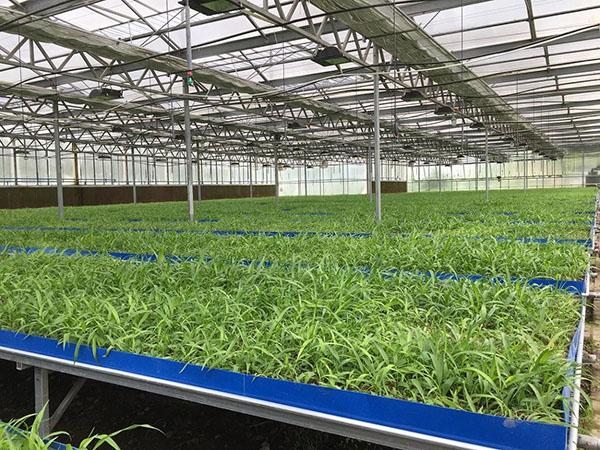 农村种植稳定高收中药草,云南滇信堂金线莲种植,帮助农户快速增收